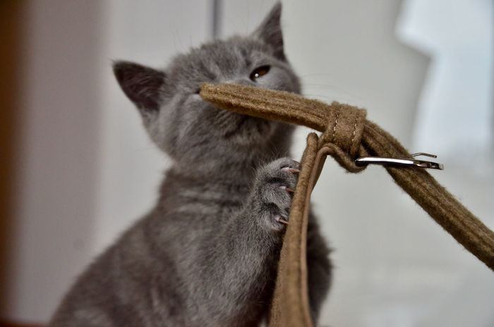 Love Animal Themes Blue Blue Grey British Shorthair Cat Cat Claws Claws Close-up Day Domestic Animals Domestic Cat Indoors  Kitten Mammal No People One Animal Pets Sitting Standing Sweet W-holly