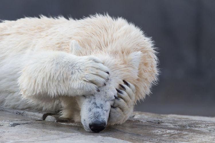 Polar Bear Lying On Rock At Zoo