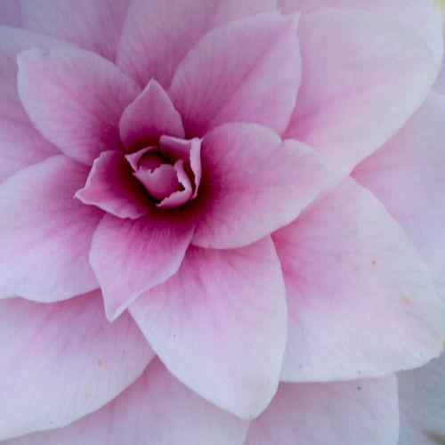 Blossom Botany Color Palette Natural Pattern Nature Petal Pink Pink Flower