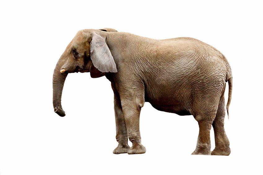 Elefant Elephant Freigestellt Full Frame Tier Animals Animal Released Discharge Discharged Eyem Best Shots EyeEm Gallery EyeEm Nature Lover Eye4photography  Nature Biology TakeoverContrast