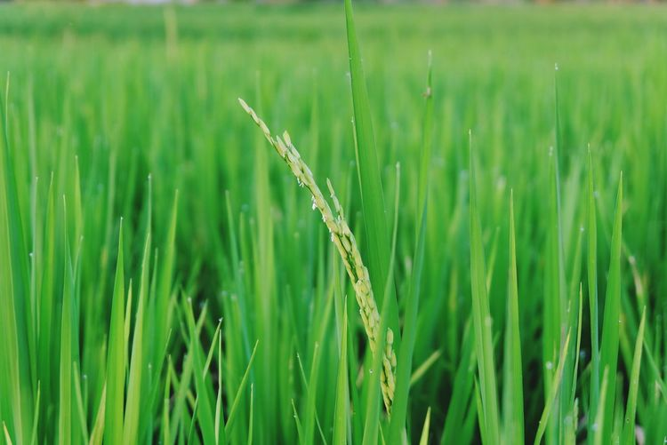 Young rice growing up Rice Young Growing Up Grow Green Rice Paddy Wheat Cereal Plant Rural Scene Ear Of Wheat Agriculture Backgrounds Rice - Cereal Plant Irrigation Equipment Field
