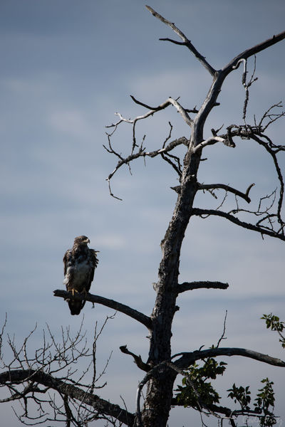 Animal Themes Animal Wildlife Animals In The Wild Bald Eagle Bare Tree Bird Branch Day Juvenile Bald Eagle Juvinile Nature No People One Animal Outdoors Perching Tree Tree Trunk
