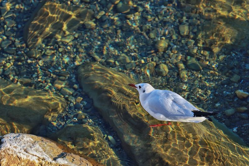 Seagull Animal Animal Wildlife Animal Themes Animals In The Wild Water One Animal Vertebrate High Angle View No People Nature Day Sunlight Rock - Object Marine Outdoors
