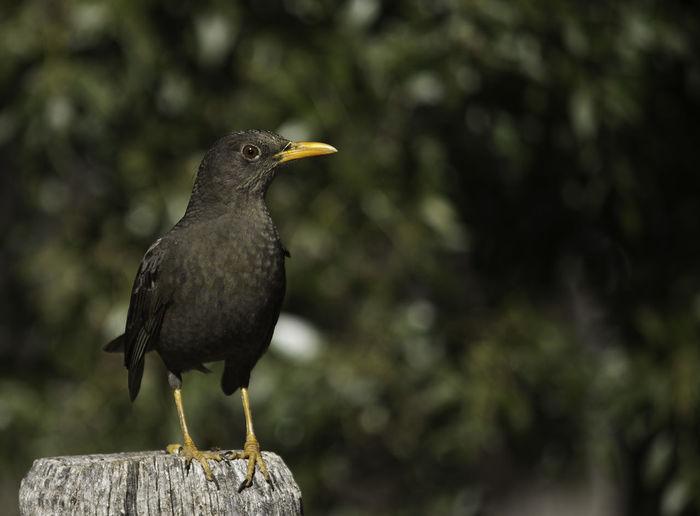 Close-up of blackbird