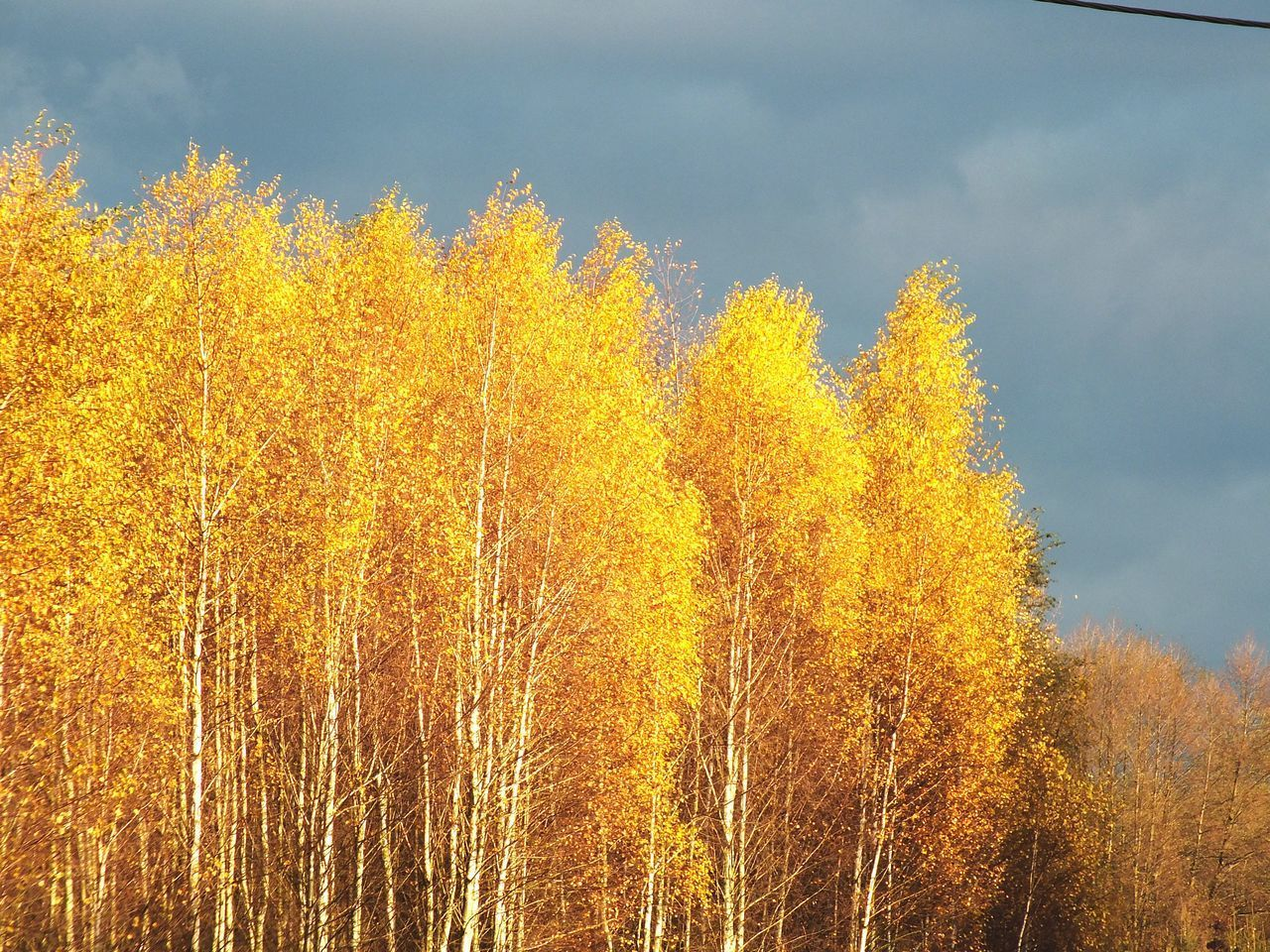LOW ANGLE VIEW OF YELLOW TREES AGAINST SKY