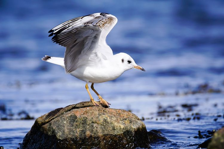 Gull Gulls And Sea Lachmöwe Bird Seagull One Animal Animals In The Wild Animal Themes Wildlife Water Beauty In Nature Sea Perching Zoology Focus On Foreground Nature Flying Water Bird Baltic Sea Germany Flensburger Förde Ostsee