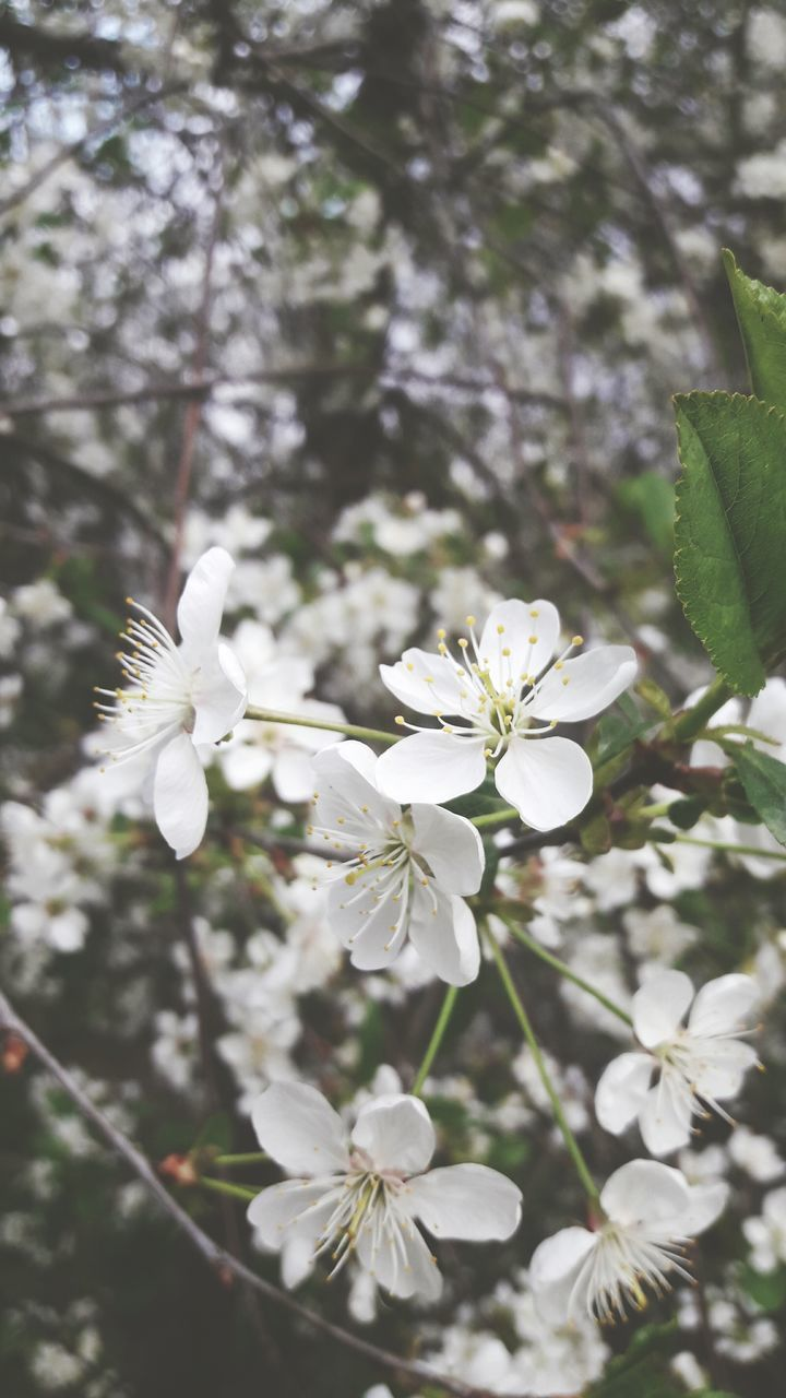 flower, white color, blossom, nature, fragility, growth, beauty in nature, apple blossom, freshness, petal, no people, delicate, tree, blooming, springtime, flower head, branch, day, close-up, outdoors