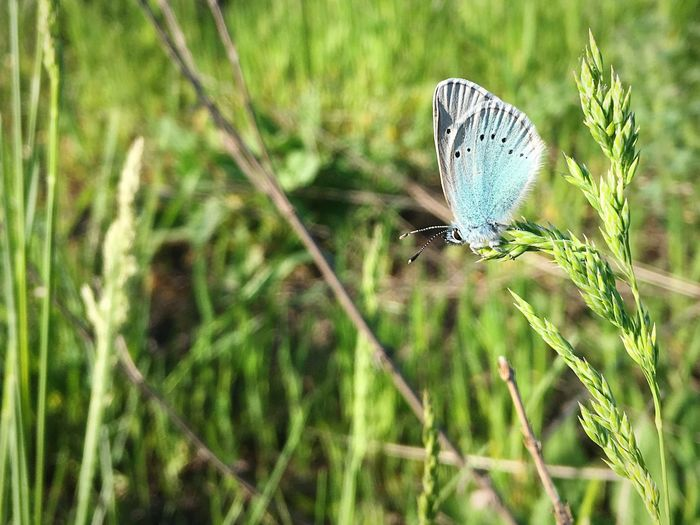 Polyommatus Bellargus Lysandra Bellargus Голубянка Butterfly