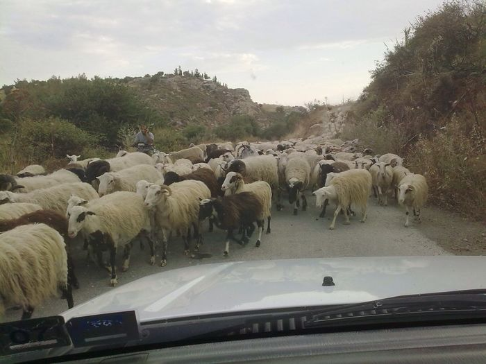 Peleponnes Greece Schafe Shepherd GREECE ♥♥