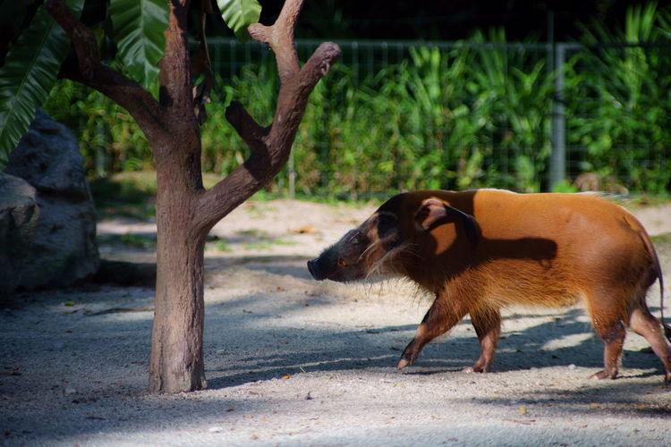 野ブタ 歩く Mammal