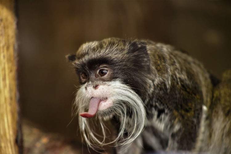 Animal Animal Themes Cheeky Monkey Close-up Day Emperor Tamarin Monkey Mammal Monkey Nature No People One Animal