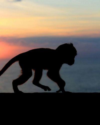 The monkey @uluwatu bali indonesia Siluetphoto Landscape #Nature #photography Journeyphotography Streetphotography