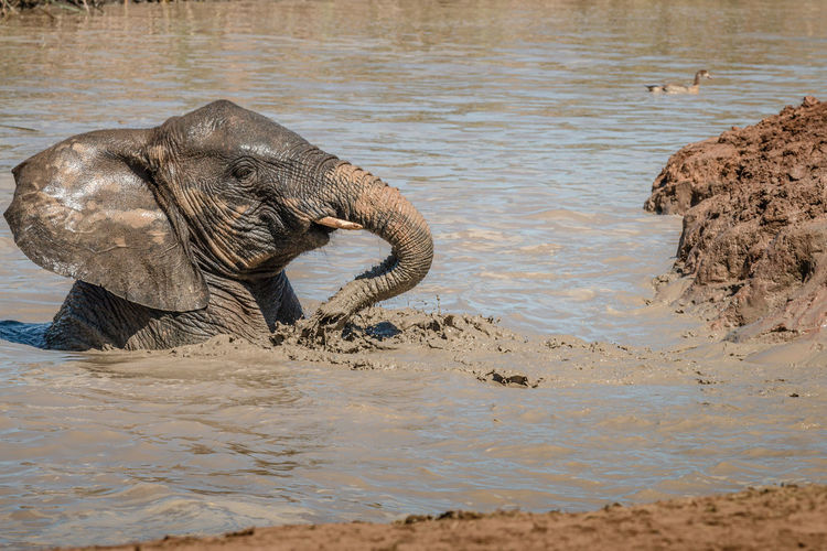 Close-up of elephant in water