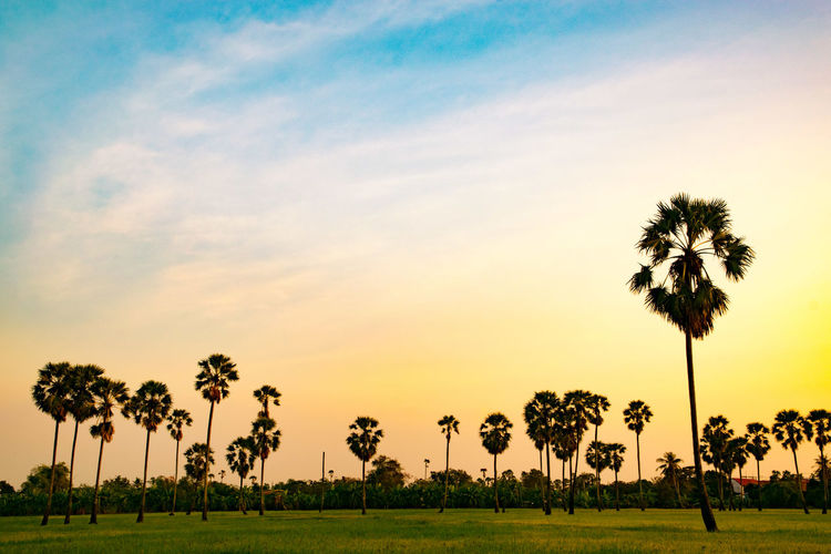 Palm tree beautiful nature for background. Background Palm Tree Tree Grass Beauty In Nature Field Sunset Outdoors Day Sky