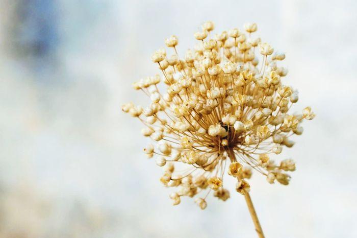 Allium Flower Nature Fragility Solitary Summertime Aridness
