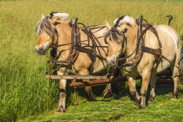 Horse cart on field