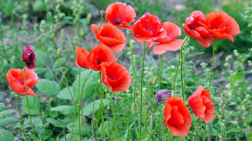 Klatschmohn Blossom Blumen Blüten Botanik Botany Draußen EyeEm Nature Lover EyeEm Nature's Diversities Flower Klatschmohn Mohn Natur Nature No People Outdoors Pflanze  Plant Poppy Red Rot