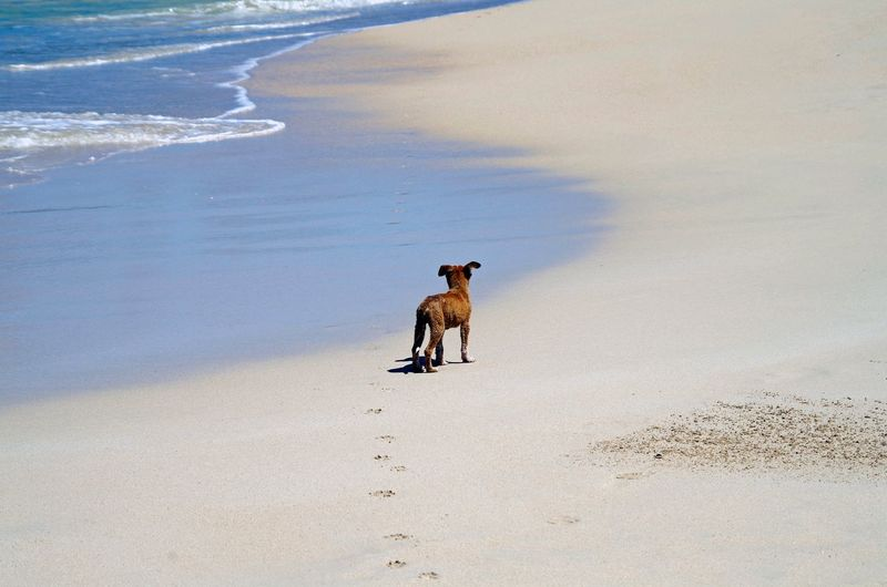 High angle view of puppy standing at beach