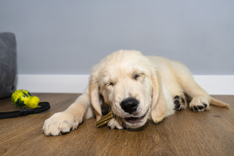 High angle view of golden retriever relaxing on floor at home