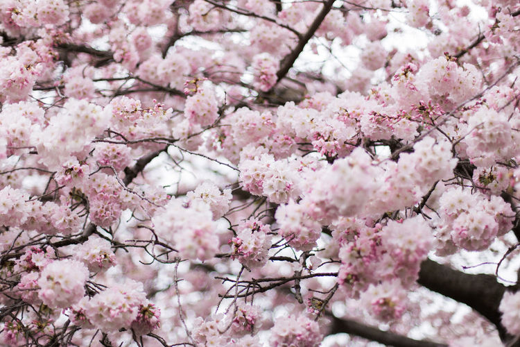 Full frame shot of cherry blossoms blooming on tree branches