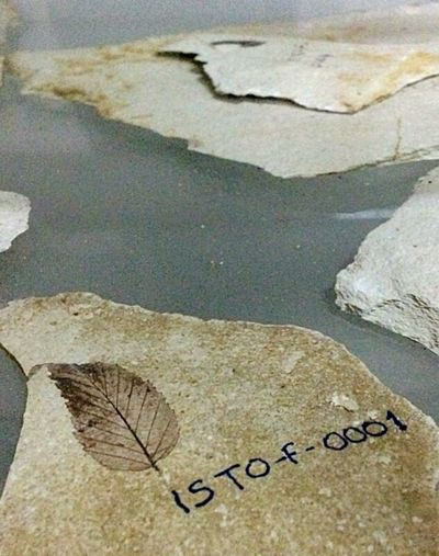 Herbarium Nature Museum Fossil Leaf 18million