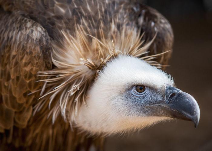 No People Travel UAE Animals Animal Kalba Bird Of Prey Centre Dubai Animals In The Wild Dead Faces Vultures Vulture Dead Nature Bird