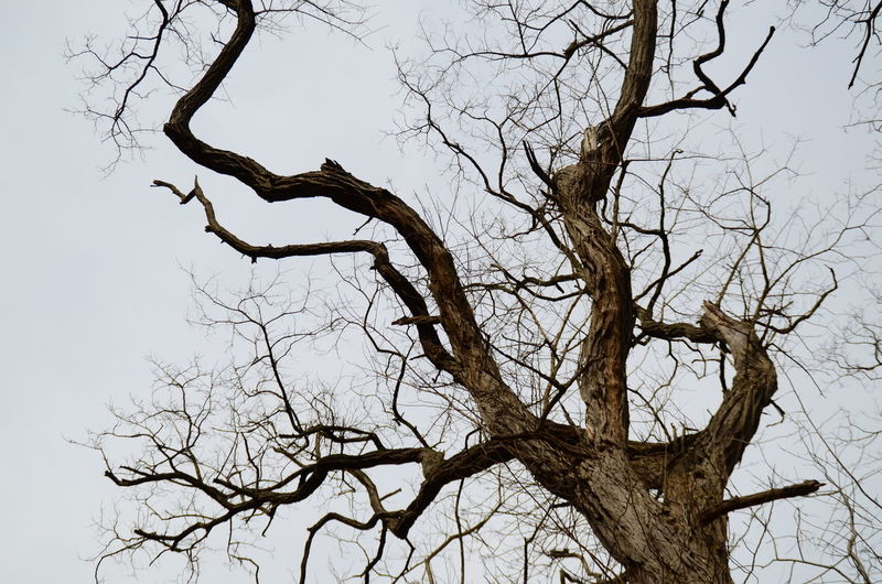 Tree watching. Bare Tree BareTrees Branch Clear Sky Dead Plant Growth Low Angle View Nature No People Outdoors Silhouette Sky Tranquility Tranquility Tree Tree Trunk Trees Twig