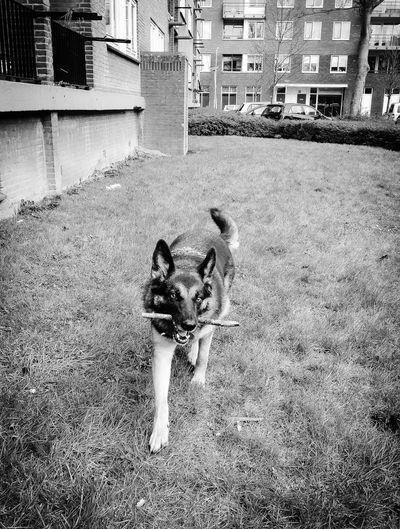 Playing fetch with Nara Blackandwhite Cute Sweet Animal Love Pets Dog Dogs German Shepherd Nara The Dog Grass