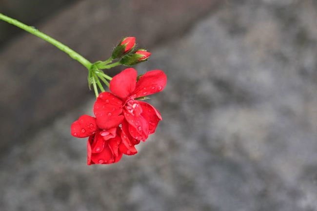 Beauty In Nature Close-up Day Flower Flower Head Fragility Freshness Growth Nature No People Outdoors Petal Plant Red