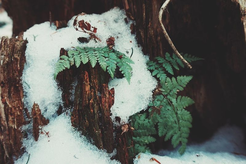 Snow ❄ Winter Fern Ferns Braun Shadow Lifestyles Nature Green Beaitiful Green Color Nature_collection Little Beautiful Painted Image People Representing Close-up