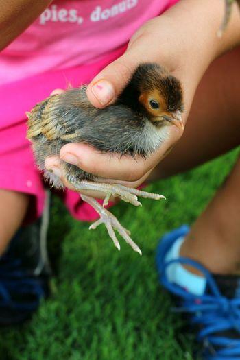 Childsplay Babychicken Hand Raised Human Hand Pets Close-up