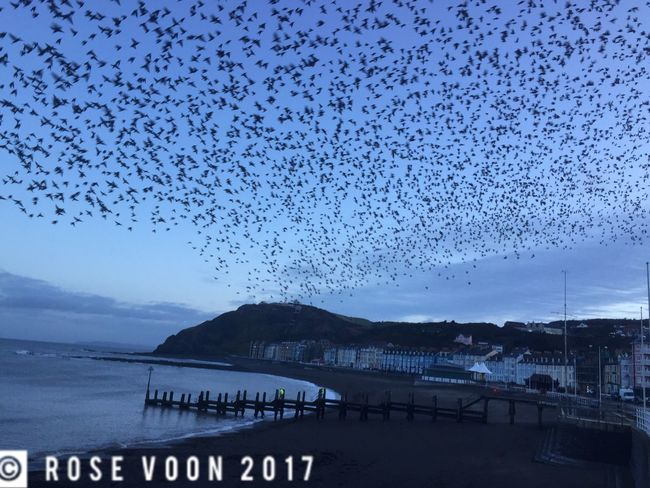 Starlings at bluehour, Aberystwyth Dramatic Sky Ceredigion Starlings Bluehour Wales Murmuration Sea