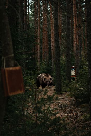 View of a bear in the forest