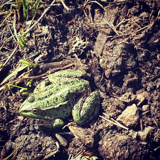 Göl Kenarı Green Frog 🐸🐸 Vırak Vırak 😁😁