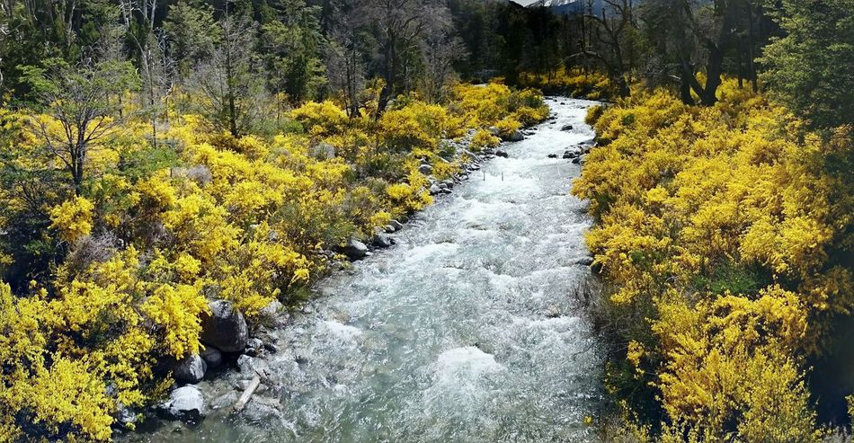 Small mountain stream, which surrounded by brooms, in spring. Arroyo Ragintuco - Ruta 40, Neuquén - Patagonia - Argentina - Sony Xperia Z2 - Mobile Photography Sony Xperia Z2 Neuquen Trekking Bariloche Broom Ragintuco Yellow Broom No People Outdoors Stream Water Spring Mountain Bariloche Argentina Patagonia Patagonia Argentina Nahuel Huapi