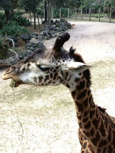 Animal Themes Animals In The Wild Sunlight Safari Animals Outdoors Beauty In Nature Close-up Grass Beautiful ♥ Giraffes! Giraffe Life