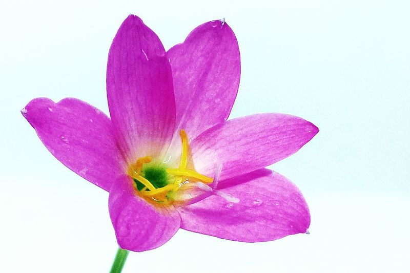 White Background Beauty In Nature Pink Color Studio Shot Flower Close-up Nature Flowerlovers