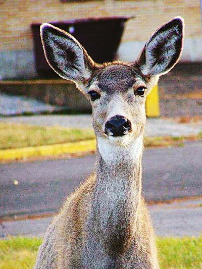 Deer suburbia... Hi! One Animal Animal Themes Looking At Camera Animals In The Wild Portrait Animal Wildlife No People Nature Day Mammal Close-up Deer Field Outdoors Grass