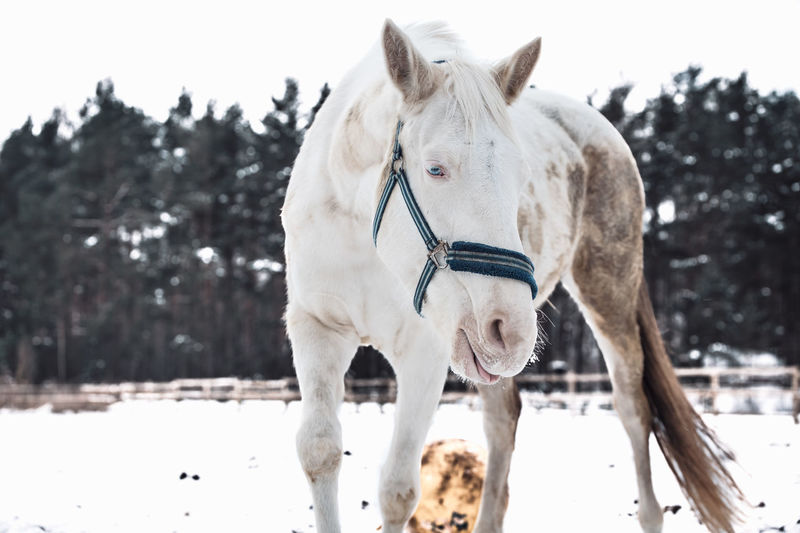 White horse standing on snow covered field