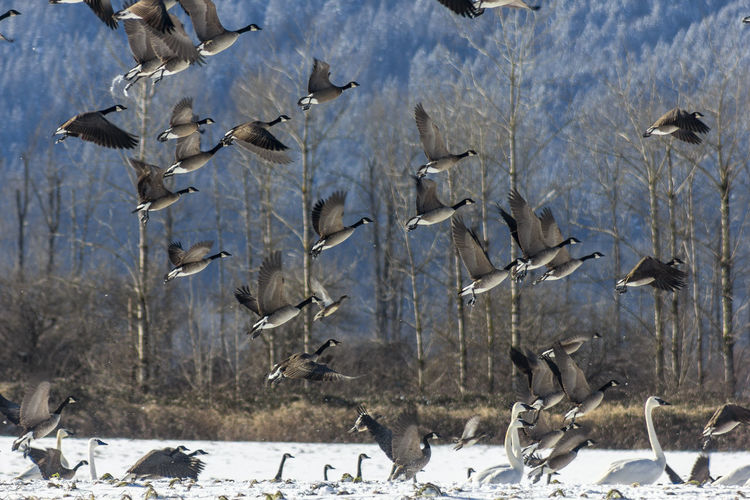 canada geese in hte snow in the winter Animal Wildlife Animals In The Wild Animal Animal Themes Group Of Animals Vertebrate Bird Flying Large Group Of Animals Flock Of Birds No People Spread Wings Nature Day Beauty In Nature