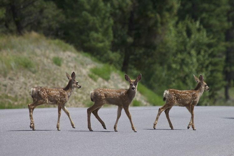 These fawns were crossing the street in Invermere in British Columbia, Canada. Animals In The Wild British Columbia, Canada Fawns Spring Animals Wildlife & Nature Animal Themes Animal Wildlife Animals In The Wild Baby Animals Baby Deer Canada Day Deer Fawn Full Length Mammal Nature No People Outdoors Road Springtime Standing Togetherness
