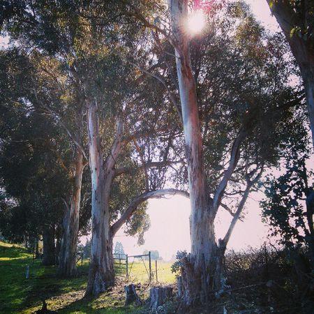 Eucalyptus Grove ... Landscape