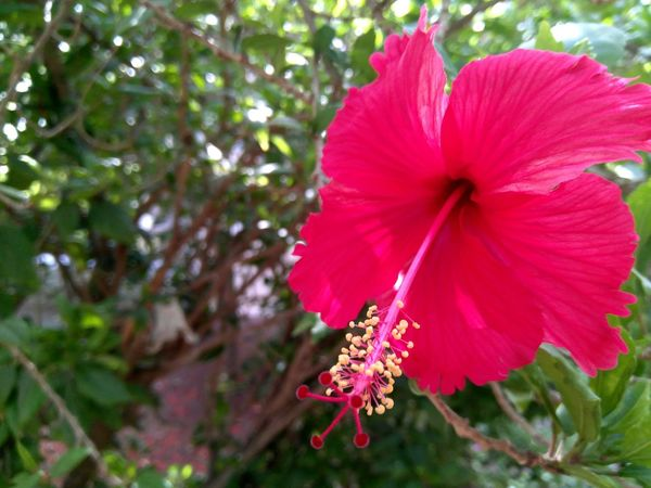 Hibiscus 🌺 Flower Pink Color Nature Fragility Petal Red Close-up Beauty In Nature Flower Head Day Plant Freshness Outdoors No People Hibiscus Springtime Petunia The Great Outdoors - 2017 EyeEm Awards EyeEm Selects