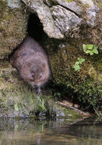 Water Vole Ratty Wildlife Wild Nature Water