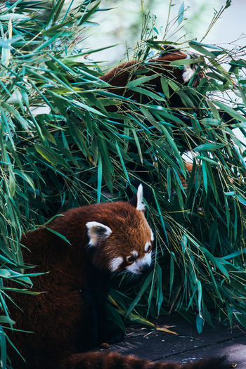 Animals Green Herbivorous Little Panda Nature Outdoors Plant Red Panda Wildlife