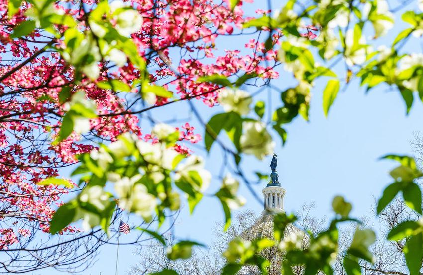 Capital Cities  Capitol Hill Democracy Spring Demonstration Fight Flower International Landmark One Person One Vote Park Peace Protest Showcase April Spring Tree Washington, D. C. Washington