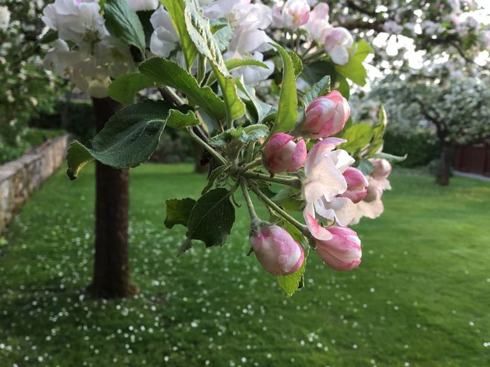 Apple Tree Spring Pink Flowers Blossom Tree Plant Growth Freshness Leaf Plant Part Nature No People Outdoors Close-up