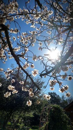Yeah Springtime! Flowers,Plants & Garden Californiathroughmylens Spring Has Arrived Capture The Moment Onelightsource Sunrays Almond Tree Almond Blossom California Sunshine Allaboutnature Smallthingsthatmakemehappy Nature Photography Flower Photography Springtime