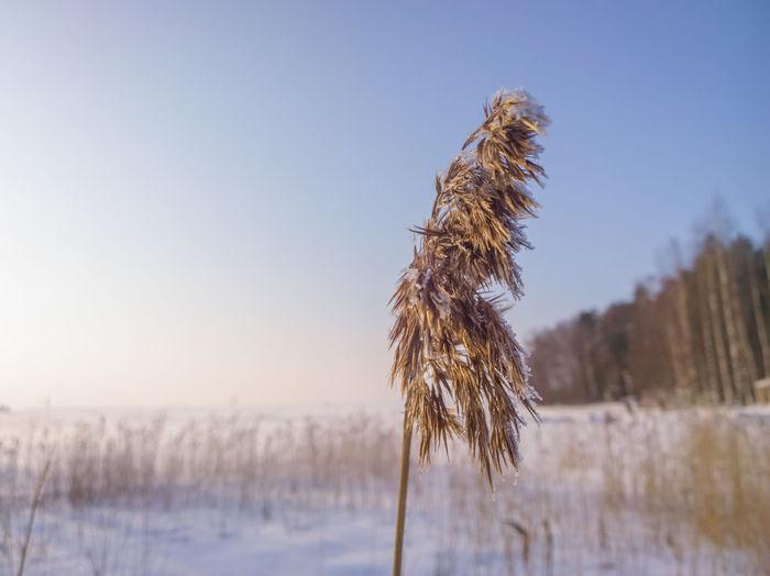 Frozen Reed in