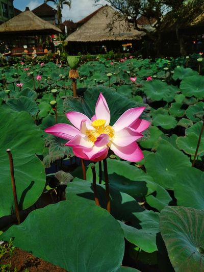 The lotus flower blooms most beautifully from the deepest and thickest mud. - Buddhist Proverb Lotus Bali Ubud, Bali Flower Head Flower Lotus Water Lily Leaf Pink Color Petal Floating On Water Close-up First Eyeem Photo